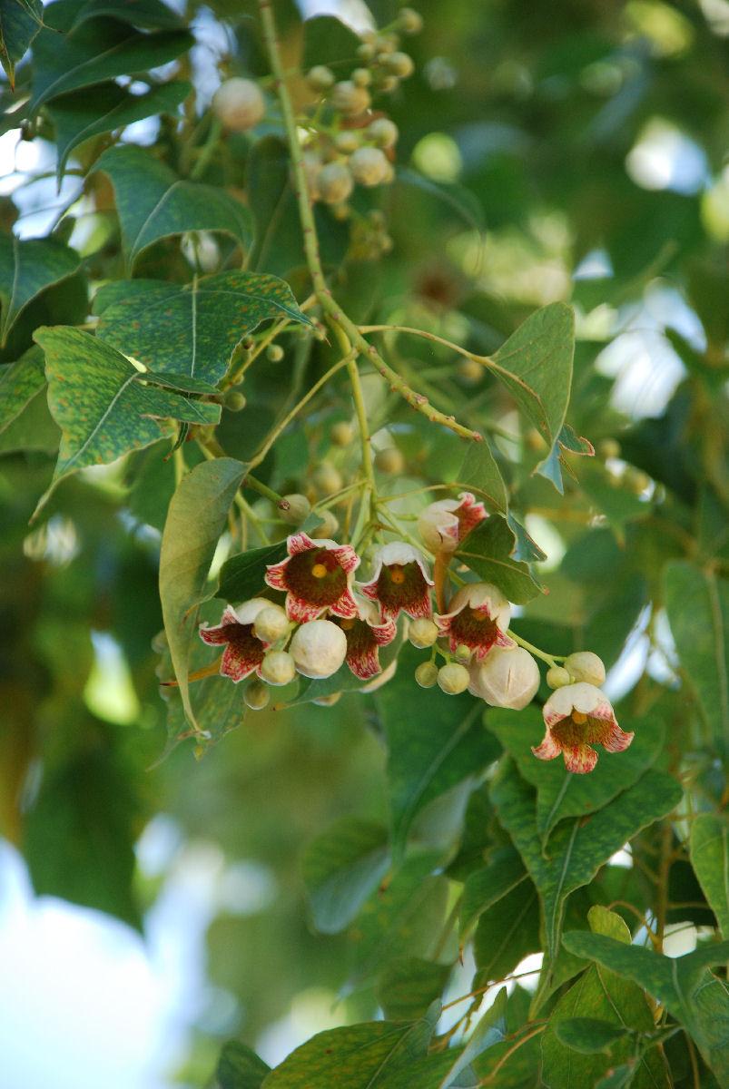 Bellflowertree